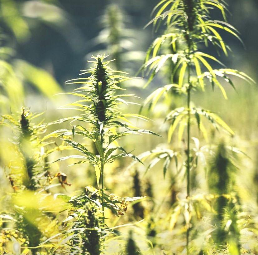 Hanfpflanze Alpenpionier